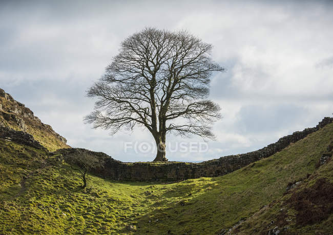 Berühmter Platanenbaum an der Hadriansmauer, allgemein bekannt als Platanenspalte, northumberland, england — Stockfoto