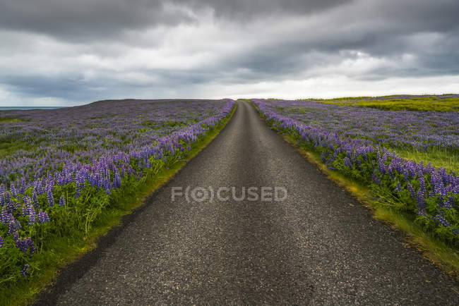 Lupines line a road on the Snaefellsness Peninsula; Iceland — Stock Photo