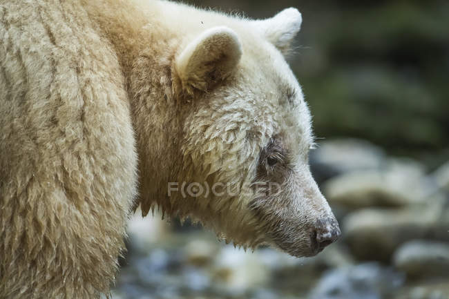 Close-up of a Spirit Bear, or Kermode Bear (Ursus americanus kermodei) in the Great Bear Rainforest; Hartley Bay, British Columbia, Canada — Stock Photo