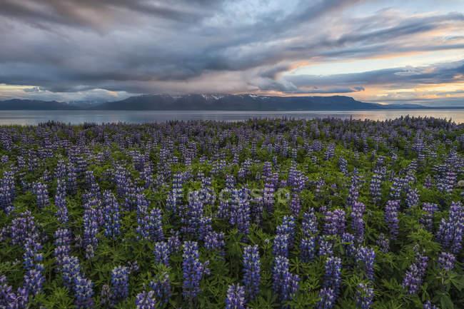Altramuces en el paisaje islandés, Península de Snaefellsness. Islandia - foto de stock