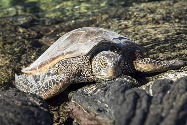 Hawaiian Green Sea Turtle (Chelonia mydas) resting on lava rocks at Kiholu Bay, South Kohala Coast; Island of Hawaii, Hawaii, United States of America — Stock Photo