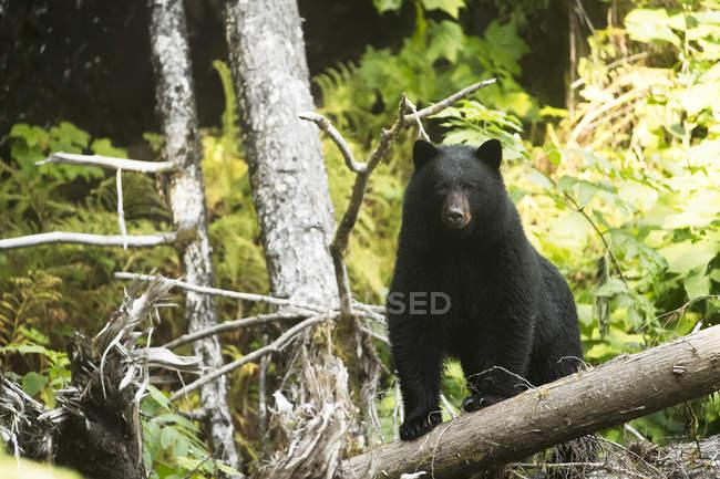 Orso nero (Ursus americanus) che pesca nella foresta pluviale del Grande Orso; baia di Hartley, Columbia Britannica, Canada — Foto stock