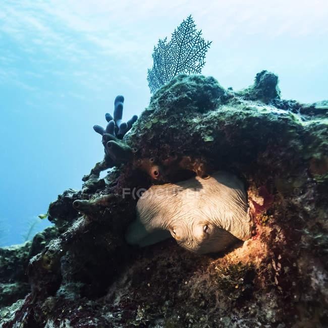 Vie marine cachée dans une formation corallienne dans la barrière de corail du Belize ; Belize — Photo de stock