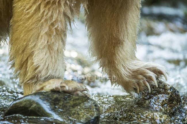 Geisterbär oder Kermode-Bär (ursus americanus kermodei) fischt im großen Bärenregenwald; Hartley Bay, britische Kolumbia, Kanada — Stockfoto
