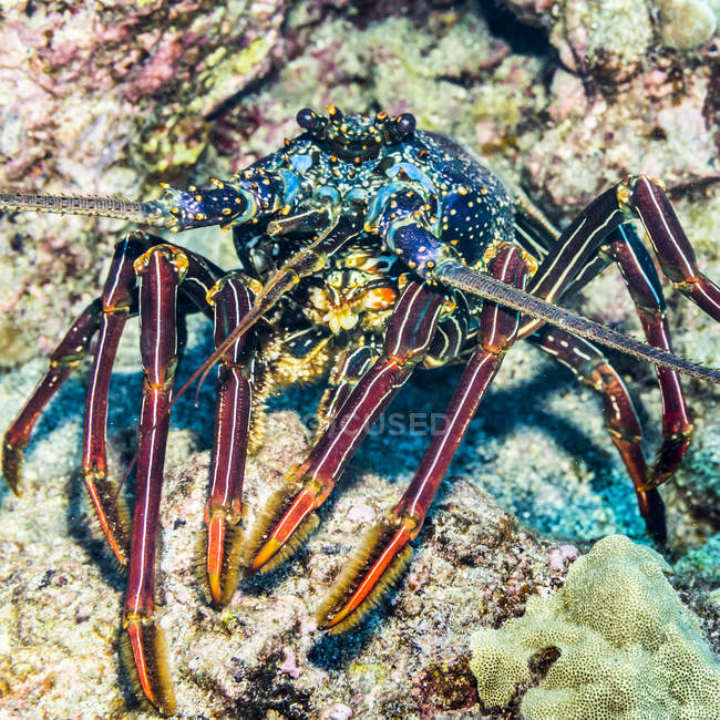 Front view of a Tufted Spiny Lobster (Panulirus penicillatus) showing its tufted legs that was photographed while scuba diving the Kona Coast; Island of Hawaii, Hawaii, United States of America — Stock Photo