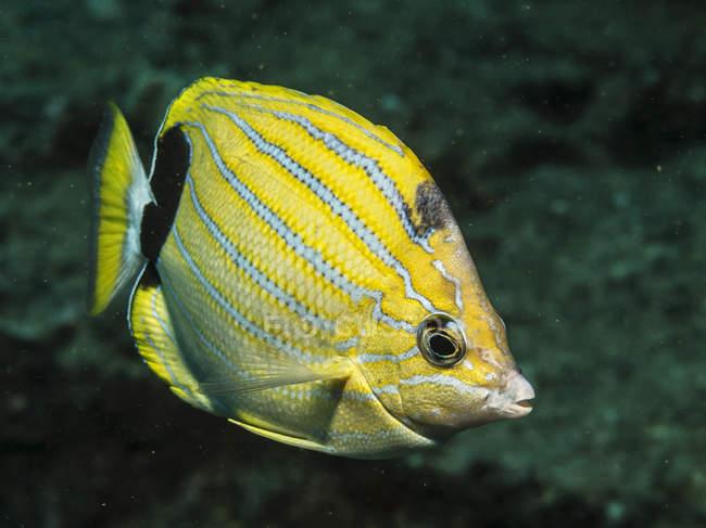 Bluestripe Butterflyfish (Chaetodon fremblii) au large de Kauai, Hawaï, au printemps. Cette espèce de poisson est endémique des îles hawaïennes ; Kauai, Hawaï, États-Unis d'Amérique — Photo de stock