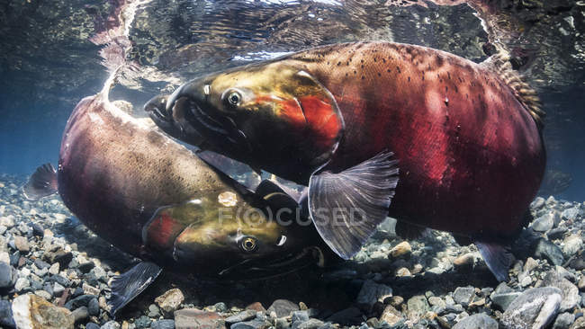 Coho Salmon, also known as Silver Salmon (Oncorhynchus kisutch) false spawning melee in an Alaskan stream during autumn; Alaska, United States of America — Stock Photo