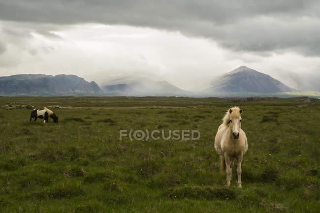 Cavalos islandeses em tempo tempestuoso criando uma cena temperamental, Península de Snaefellsness; Islândia — Fotografia de Stock