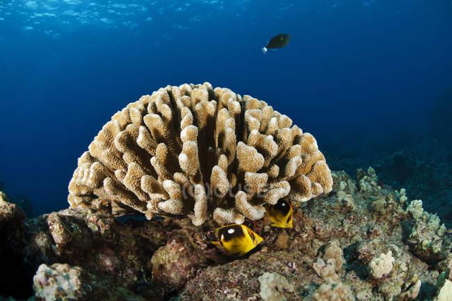 Vue large de la tête de corail avec des poissons ; île d'Hawaï, Hawaï, États-Unis d'Amérique — Photo de stock