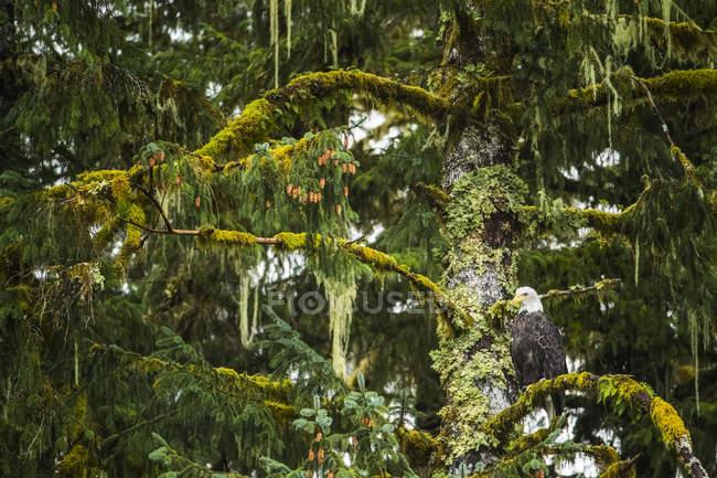 Bald Eagle (Haliaeetus leucocephalus) sitting in a tree in the Great Bear Rainforest; Hartley Bay, British Columbia, Canada — Stock Photo