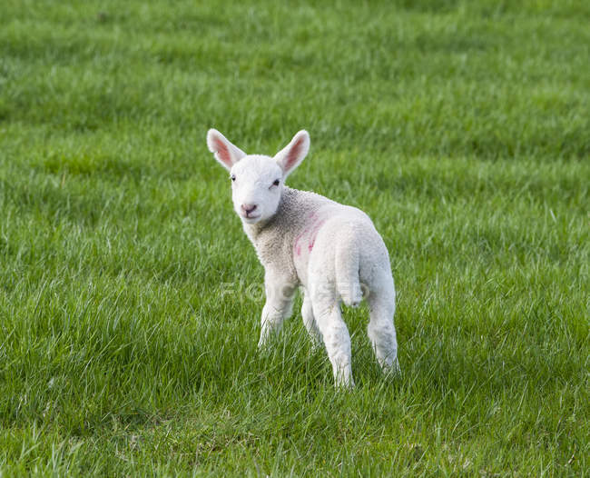 Agneau blanc sur un terrain de gazon au printemps; Northumberland, Angleterre — Photo de stock