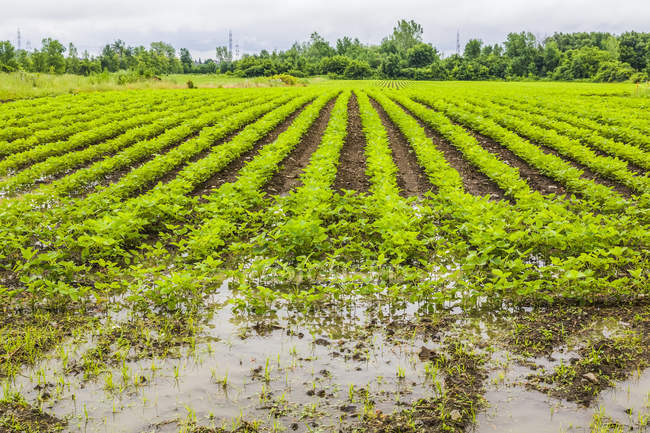 Agricultural crop in a field flooded with excess rain water due to the effects of climate change; Quebec, Canada — Stock Photo