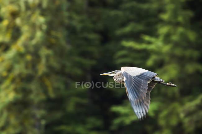 Grand héron (Ardea herodias) en vol, forêt pluviale de Great Bear; Hartley Bay, Colombie-Britannique, Canada — Photo de stock