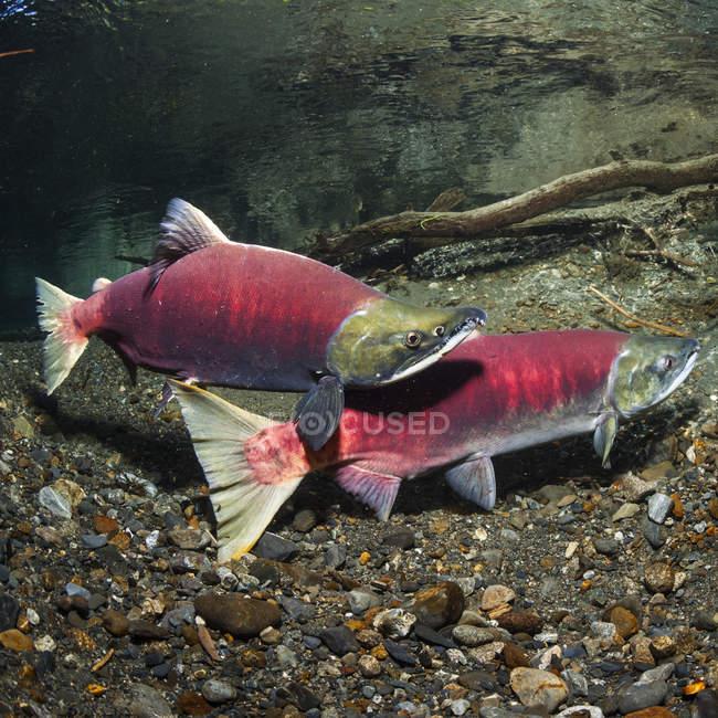 Un saumon rouge (Oncorhynchus nerka) mâle courtisant croise une femelle dans un ruisseau de l'Alaska pendant l'été ; Alaska, États-Unis d'Amérique — Photo de stock