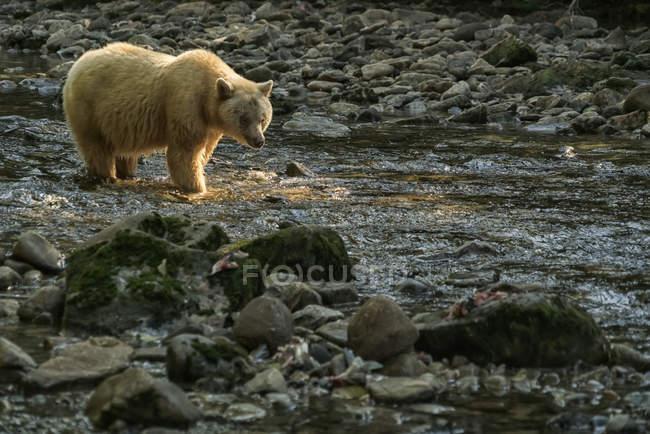 Дух Медведь, или Kermode медведь, (Ursus americanus kermodei) ходить в поток в Большая Медведица Rainforest; Залив Хартли, Британская Колумбия, Канада — стоковое фото