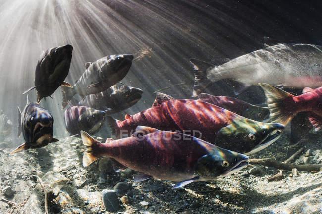 En septembre, le saumon rouge et le saumon coho (Oncorhynchus nerka et kisuch) s'entremêlent durant leur migration de frai dans un cours d'eau de l'Alaska, aux États-Unis. — Photo de stock
