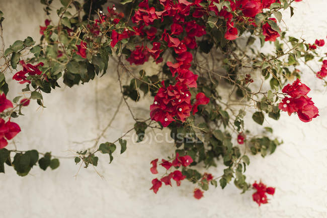 Red blossoming flowers on a plant against a white wall — Stock Photo