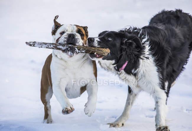 Perros corriendo mientras juegan con un palo en la nieve; Djupavik, West Fjords, Islandia - foto de stock