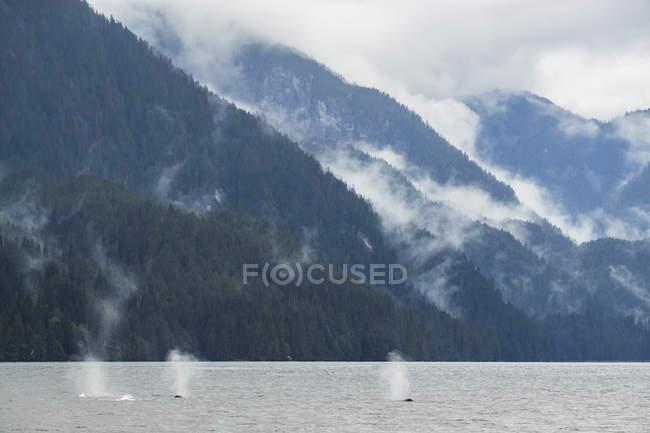 Balene megattere (Megaptera novaeangliae) che prendono una boccata d'aria prima di tuffarsi nelle acque della foresta pluviale del Grande Orso; Hartley Bay, Columbia Britannica, Canada — Foto stock
