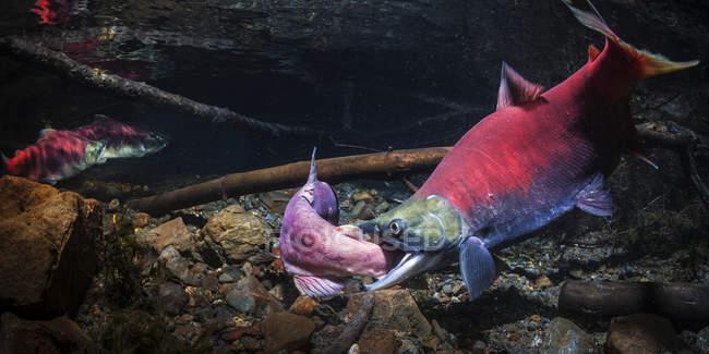 Un mâle alpha du saumon rouge (Oncorhynchus nerka) attaque un challenger dans un ruisseau de l'Alaska pendant l'été ; Alaska, États-Unis d'Amérique — Photo de stock