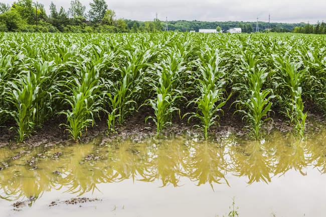 Agrícolas en un campo inundan con agua de la lluvia de exceso debido a los efectos del cambio climático; Quebec, Canadá - foto de stock