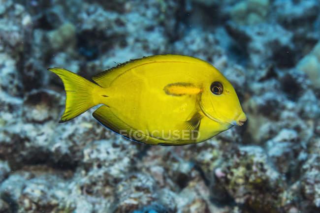 Juvenile Orangebar Surgeonfish (Acanthurus olivaceus) au large de la côte de Kona ; île d'Hawaï, Hawaï, États-Unis d'Amérique — Photo de stock