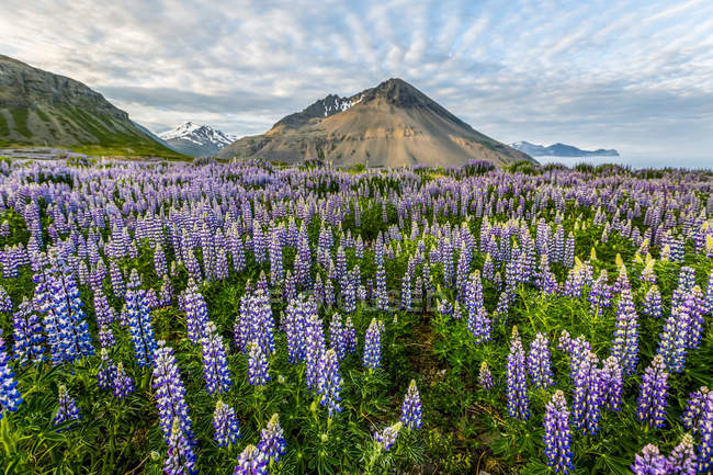 Beautiful volcanic mountain scene with wispy clouds and blue sky is accented in late evening light behind a field full of lupine wildflowers, Iceland — Stock Photo