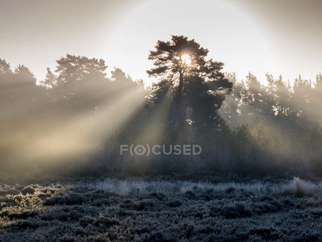Sunbeams shine through silhouetted trees to a frosty ground, Esher Commons, Surrey, England — Stock Photo