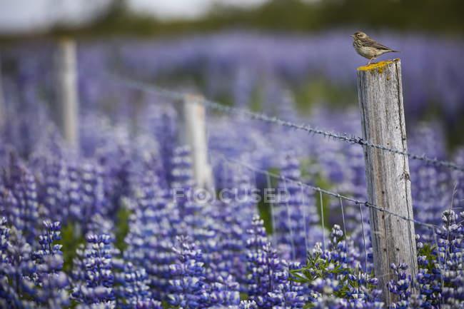 Pájaros en una cerca con altramuces en el paisaje islandés, Península de Snaefellsness. Islandia - foto de stock