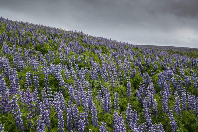 Люпин исландских пейзажей, Snaefellsness полуострова; Исландия — стоковое фото