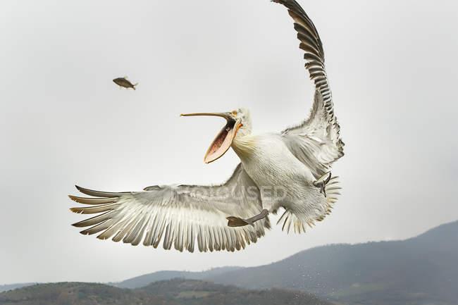 Pellicano dalmata cattura del pesce nel cielo — Foto stock