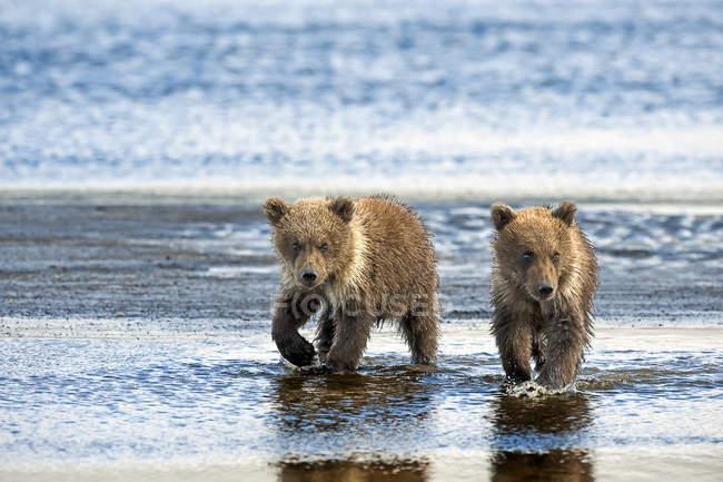 Ursos kodiak bonitinho no habitat natural — Fotografia de Stock