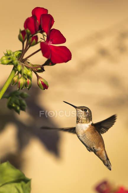 Vue du Colibri en vol à côté fleur sur fond flou — Photo de stock