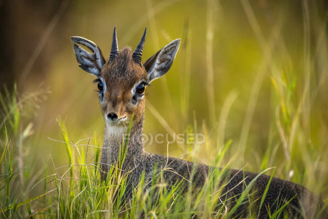 Close-up of Kirk's dik-dik (Madoqua kirkii) in long grass, Maasai Mara National Reserve; Kenya — Stock Photo