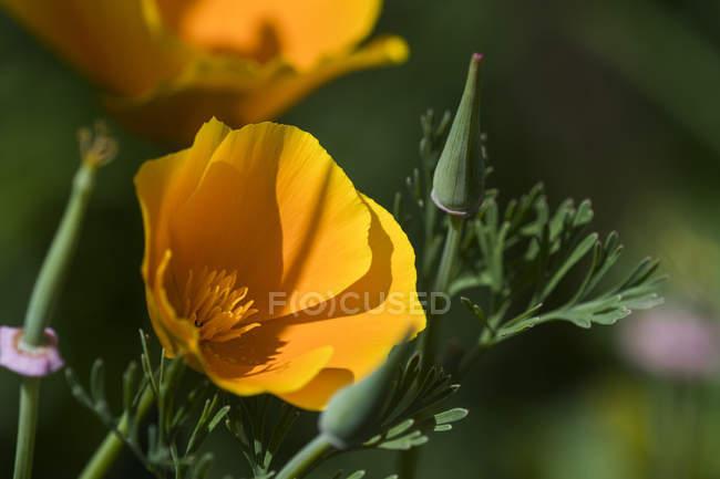 A California poppy (Eschscholzia californica) blooming in a garden; Astoria, Oregon, United States of America — Stock Photo