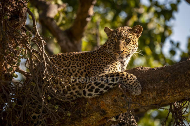 Close-up of majestic leopard on tree branch, Maasai Mara National Reserve, Kenya — Stock Photo