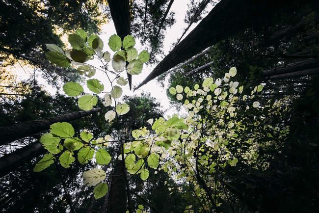 Folhas verdes em uma árvore com uma vista do alto de troncos de árvore em uma floresta; Califórnia, Estados Unidos da América — Fotografia de Stock