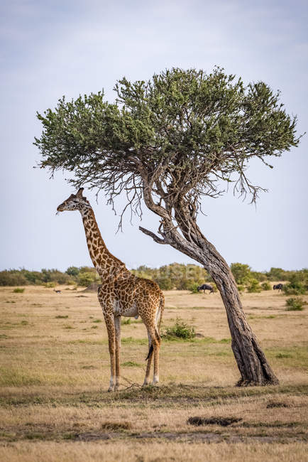 Cute tall giraffe in wild nature — Stock Photo