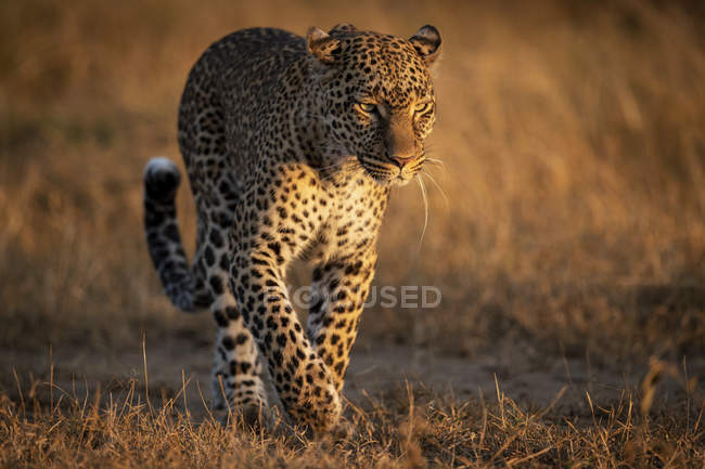 Крупным планом вид леопарда, в траве, Масаи Мара Национальный заповедник, Кения — стоковое фото