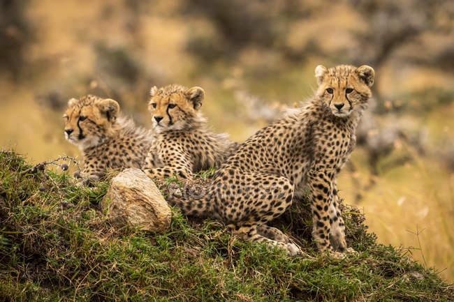Carino possente ghepardi in safari, Maasai Mara National Reserve, Kenya — Foto stock