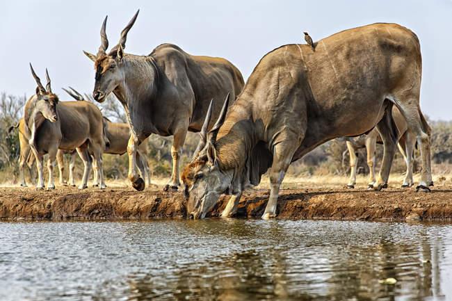 Antilope alcina (Taurotragus oryx) acqua potabile; Mashatu, Botswana — Foto stock