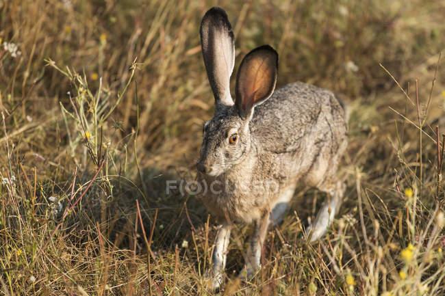 Милый кролик с длинными ушами в естественной среде обитания — стоковое фото