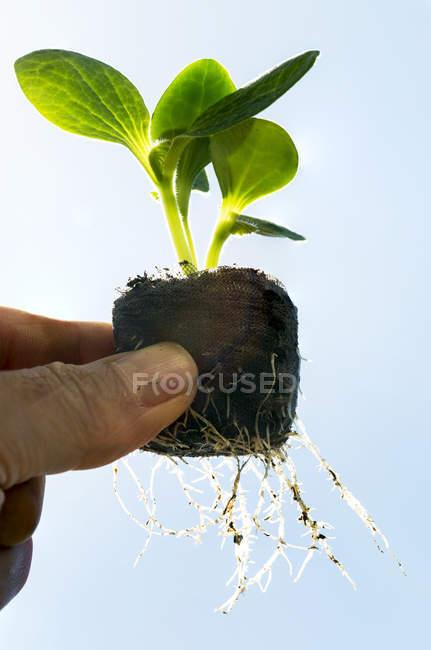 Primo piano delle dita di un maschio che tiene una pianta da semina di zucca con radici che crescono da una pallina di terreno contro un cielo blu; Calgary, Alberta, Canada — Foto stock