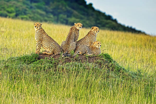 Niedlichen mächtigen Geparden in Safari, Massai Mara National Reserve, Kenia — Stockfoto