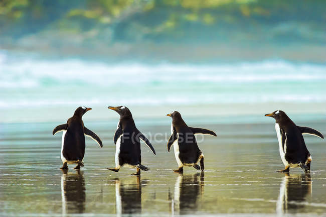 Gentoo-Pinguine gehen an Land, selektiver Fokus — Stockfoto