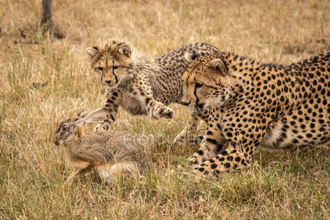 Possenti carino ghepardi in safari, riserva nazionale di Masai Mara, Kenya — Foto stock