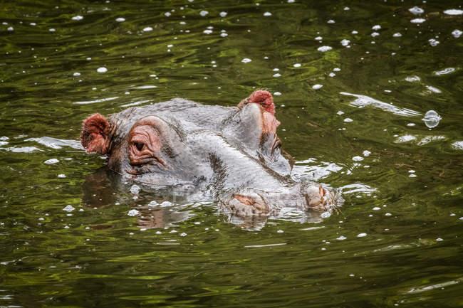 Kopf des Nilpferdes (Hippopotamus amphibius), Kamera im Wasser, Maasai Mara Nationalreservat; Kenia — Stockfoto