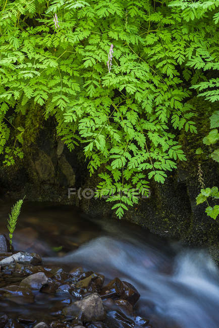 Corydalis grows on the shaded stream banks in Western Oregon; Cannon Beach, Oregon, United States of America — Stock Photo
