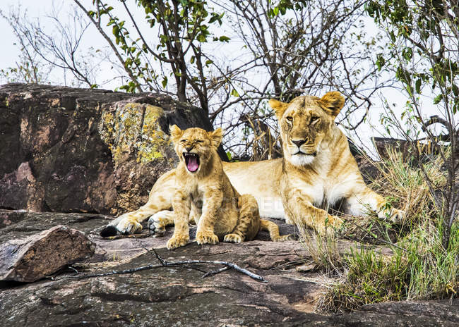 Lions poilus majestueux dans l'habitat naturel — Photo de stock