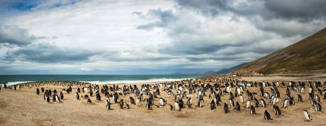 Large group of gentoo penguins in natural habitat — Stock Photo